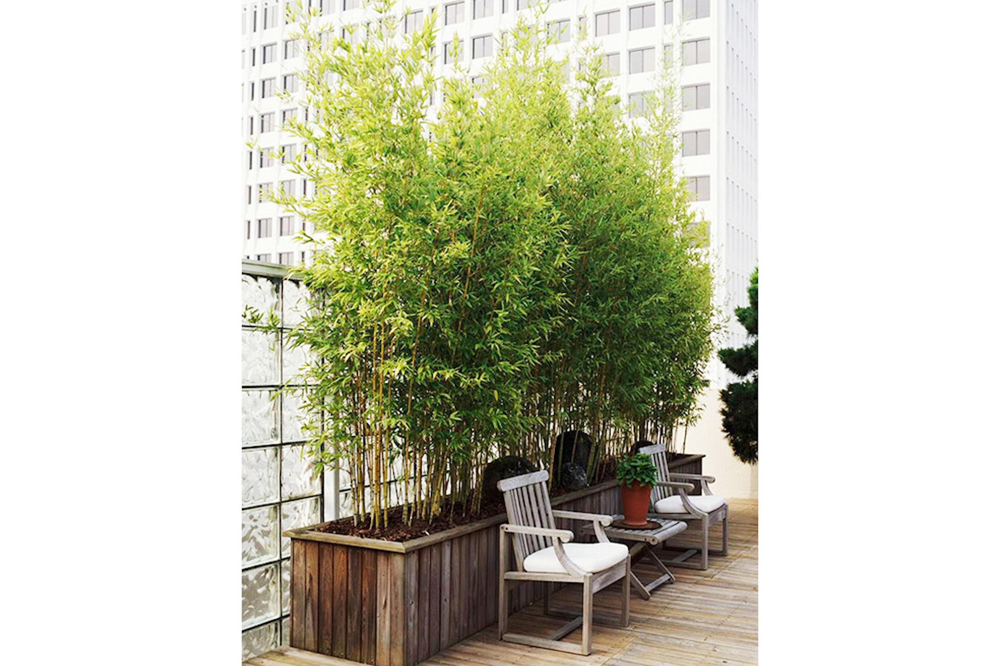 Bambuplantor, 3- eller 6-pack