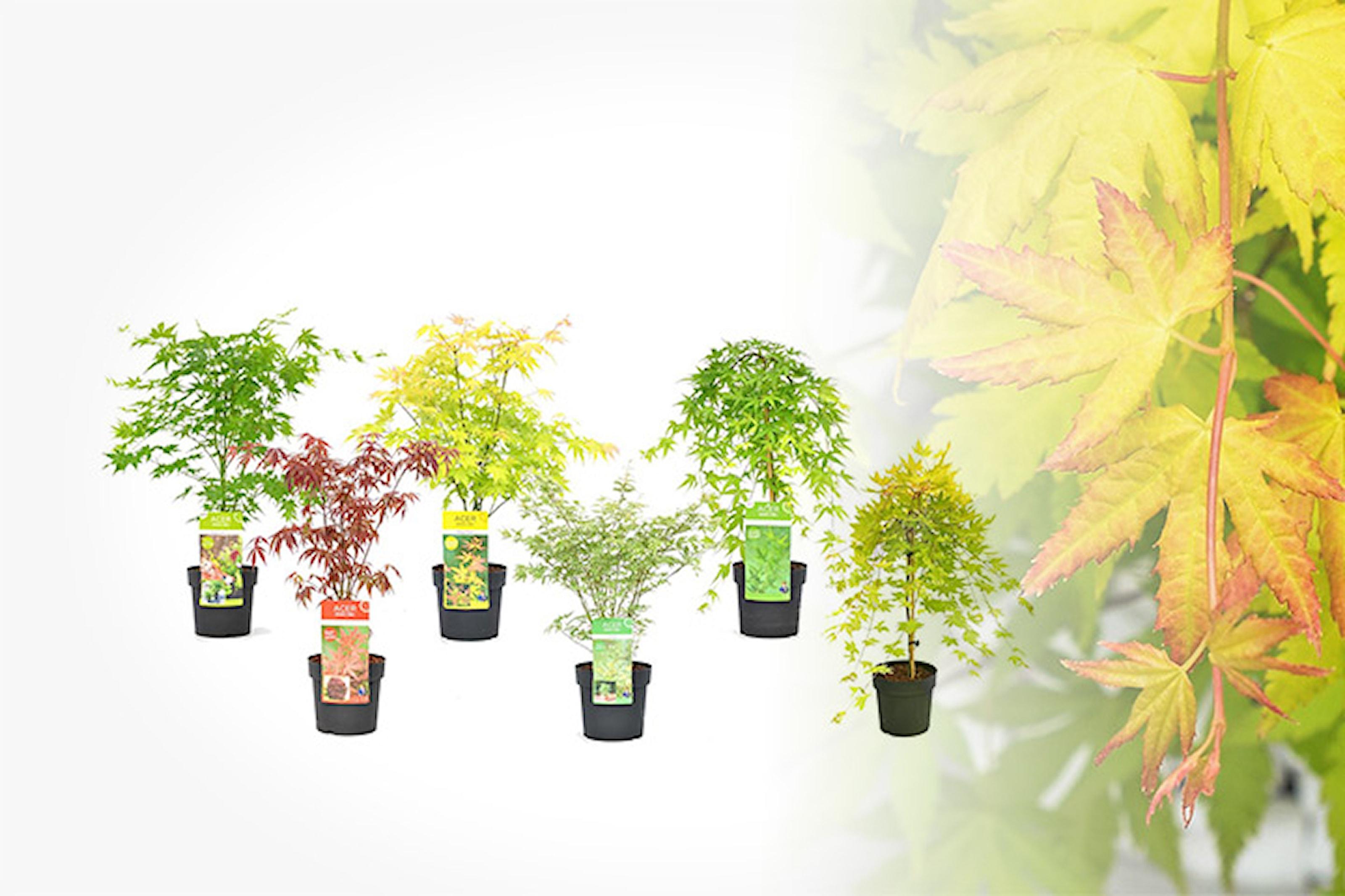 Trädgårdstips: Japansk lönn, 6-pack